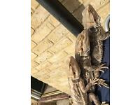 3 females bearded dragons