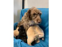 Very cute jackapoo puppies