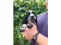 Sprocker Spaniel Puppy For Sale