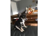 KC Long Hair Blue Chihuahua Boy Ready To Leave NOW!