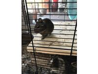 Two degus girls, approx 9 months