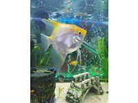 Angel fish Common plec Betta fish £20 for all 3