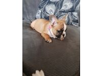 French bull dogs for sale 1000