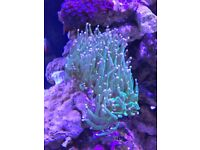 LPS corals for sale