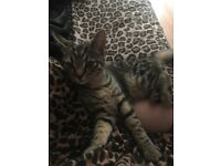 4 month old kitten for sale needs to go ASAP