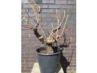 Grape Plant Vitis mature polo muscat 18 litre pot. Outstanding plant