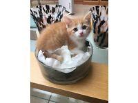 Mixed Ragdoll Ginger and White Female Kitten