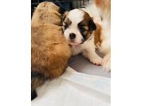 Beautiful shih tzu puppies looking for their forever homes