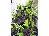 Lily of the Valley, hardy perennial available in 1 and 2 litre pots very perfumed flower