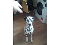 5,5 months Dalmatian puppy girl