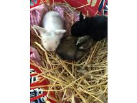 2x lion lop baby rabbits for sale