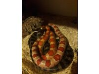2 corn snakes with full set up