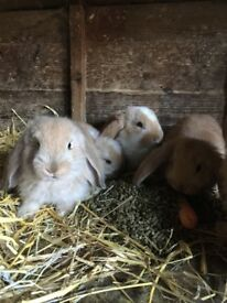 French lop kits ready to reserve