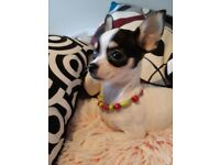 Chihuahua lovely GIRL