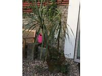 Free palm tree to pick up in Clapham (SW11)