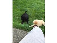 Sproodle puppy 1 black girl left