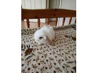 Mini lop bunnies