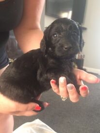 Springapoo puppies for sale