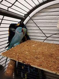 Blue ringneck parrots birds