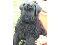 KC registered Kerry blue male puppy