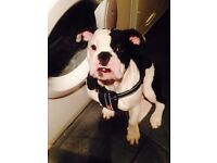 Gorgeous old tyme bulldog needing loving home 9 month old