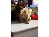 Full breed fawn tan and brindle French bulldog