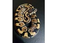 Het pied Ball pythons