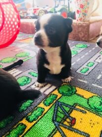 Two chihuahuas puppies for sale