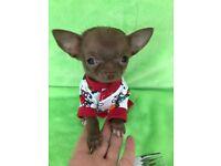 11 week old Chihuahua puppies
