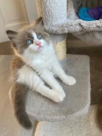 Blue mink lynx pure pedigree ragdoll kittens 3 boys and 1 girl Only 2 boys remain