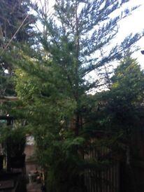 Conifer trees aka Cuprocyparis leylandii For Sale