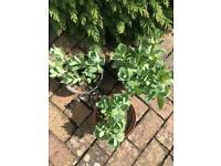 Garden Plants: Sedum Ice Plants. Collect Fulham