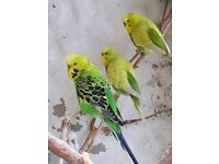 Aviary budgies for sale
