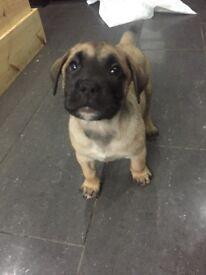 Full Fawn Presa Canario Puppies. Chunky beautiful & playful.
