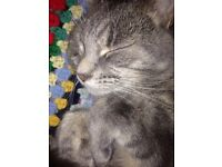 Male Grey Tabby Missing!