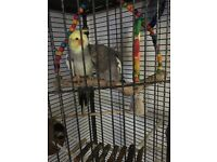 Two lovely cockatiels & parrot cage