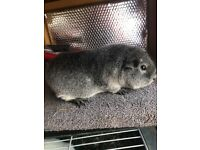 Male and female guinea pigs available