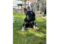 French bulldog puppy, kc registered, ready now