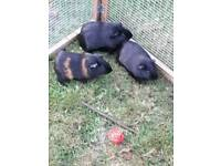 Two black male baby cute Guinea pigs 6 months old