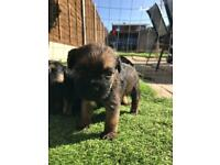 Stunning border terrier puppies