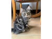 Gorgeous female kittens need to find their forever homes!!