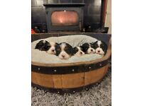 Rare Pure Cavalier King Charles Puppies