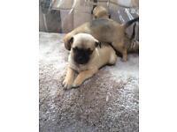 Jug/pug puppy's