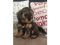 gorgeous F1 cavapoo puppies ready now