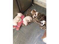 Beautiful bundles of joy. Staffy cross