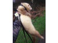 Male Ferret- Amazing Temperament