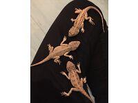 Agama dragons