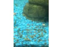 Baby guppy fish