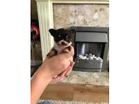 Beautiful full pedigree chihuahua puppies