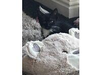 Kitten 9 weeks female